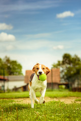 Beagle dog fun run in a garden with a green ball