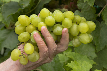 Green grape on hand