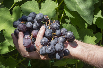 Grape on a hand