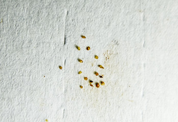 Parasites on a sheet of paper. Extruded from the skin parasites. Acari parasites