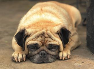 pug dog close up muzzle photo resting on the hot day