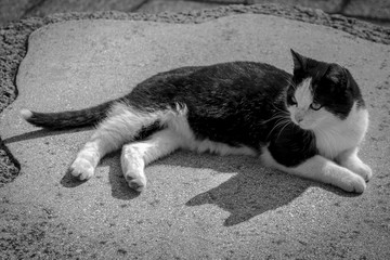 Cute black and white spotted kitten in garden, monochrome image. Black and white spotted cat lies on ground, looks away.