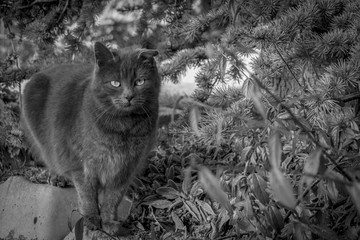 Grey cat in the garden, black and white image. Grey kitten in the garden beside plants and pine tree.