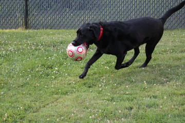 Black lab playing with a ball