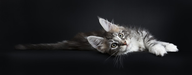 Lazy Maine Coon cat / kitten laying sideways and stretching out looking at the camera isolated on black background.