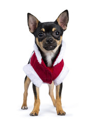 black chiwawa dog standing straight in front of  the camera with cute Christmas jacket  isolated on white background