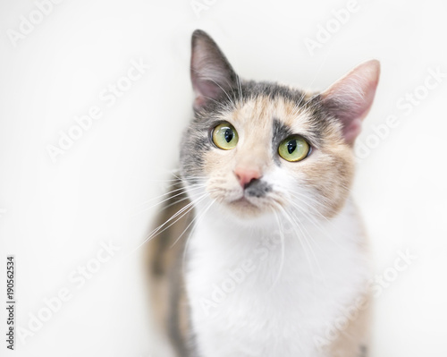 Dilute Calico Cat With Blue Eyes