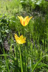 Yellow flower tulip spring photo