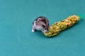 Grey dwarf hamster