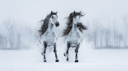 Fototapete - Two galloping dapple-grey long-maned Purebred Spanish horses across snowy field.