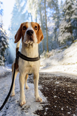 Beagle dog in snowy forest winter