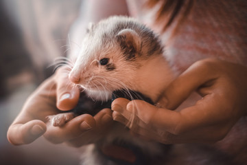 Closeup of cute pet ferret resting in hands of owner Wall mural