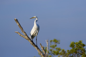 Great White Egret Perched on Tree Branch with Blue Sky