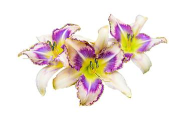 Multicolored daylily (Hemerocallis) isolated on white