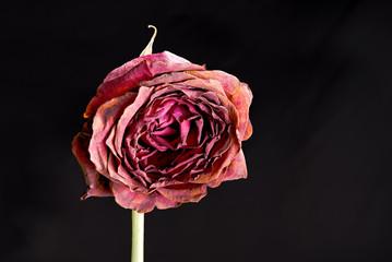 Decomposing rose