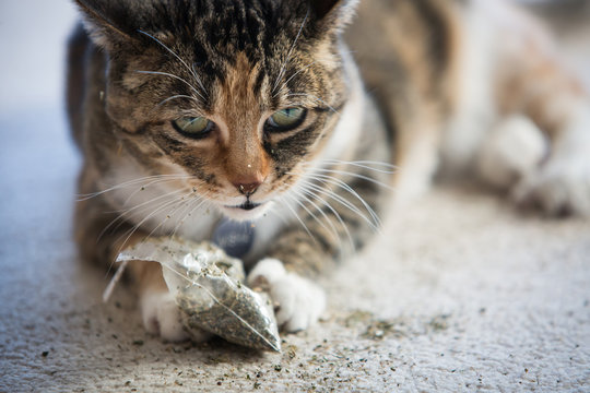 Calico cat playing with catnip