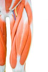 Human thigh muscle anatomy