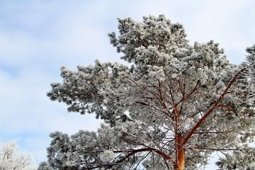 Снежное одеяло укутало дерево
