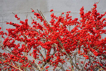 Branches of red winterberry plant (ilex verticillata)