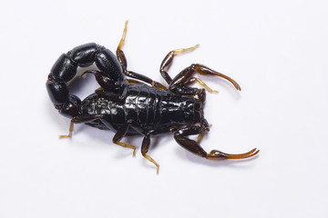 Scorpion, Orthochirus's sp. Tamilnadu