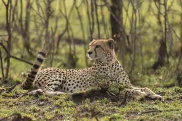 a single cheetah rests among the shrubs of the Maasai Mara