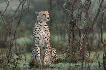 a single cheetah rests among the shrubs of the Maasai Mara