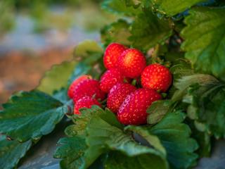 Fresh strawberries fruits on strawberry plants at strawberry fields