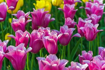 Tulip field Spring time flower garden, nature background.