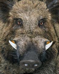 head wild boar animal Sus Scrofa background.