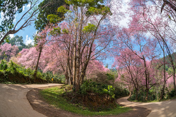 Cherry tree or sakura flowers blossom are blooming in spring garden on natural background.