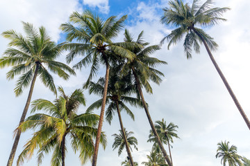 Coconut palm trees with blue sky and white clound