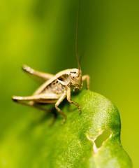 Grasshopper on green leaves in nature