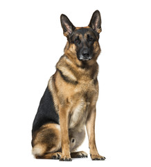 German Shepherd dog sitting against white background