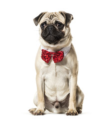 Pug in red bow tie sitting against white background