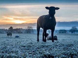 herd of sheeps on a meadow at sunset, Utzenstorf, Switzerland