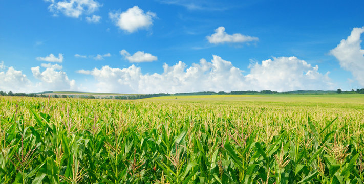 Green corn field and blue sky. Wide photo.