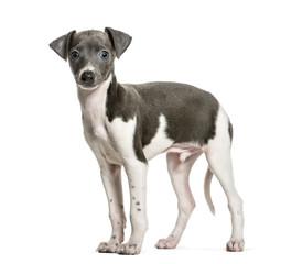 Italian Greyhound puppy standing against white background