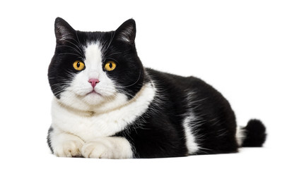Mixed breed cat lying on front against white background