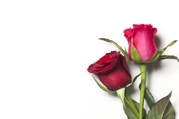 Red and pink roses on a plain white background