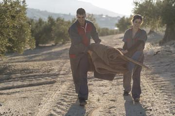 olive oil olives collection by workers. Black olives harvest, end of Journey.