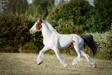 Pinto horse running trot on the field by summer