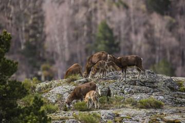 Muflones en los Pirineos