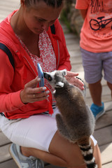 Lemur small funny animal mammal Africa with people