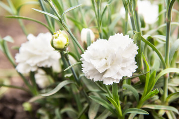flowering of white carnations in the garden outdoor
