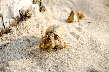 Hermit crab with out shell(lat. Paguroidea) Hermit crab (lat. Paguroidea) runs on the sand with direct sunrise at the lipe. Thailand