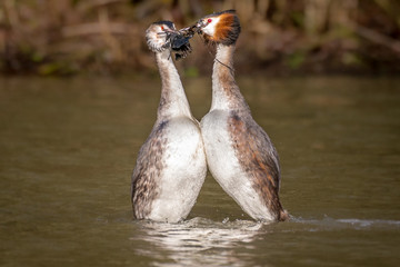 Dancing Great Crested Grebes, courtship & mating ritual