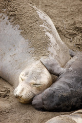 Elephant Seal Cow and Pup