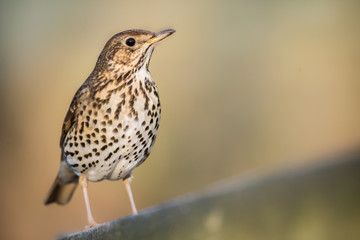 Fototapete - UK Song Thrush