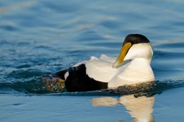 Eider Duck