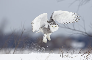Poster Uil Snowy owl (Bubo scandiacus) lifts off to hunt over a snow covered field in Canada